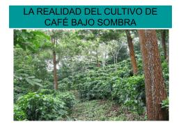 La realidad del cultivo del café bajo sombra. Carlos Jones