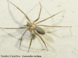 Dicen que se trata de una pequeña araña que forma parte de la