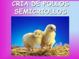 cria de pollos semicriollos