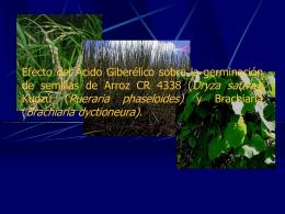 Efecto del ácido giberélico sobre la germinación de semillas de arroz