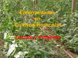 """El """"moho gris"""" en el Cultivo de Tomate"""