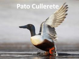 Pato Cullerete