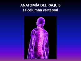 ANATOMÍA DEL RAQUIS La columna vertebral