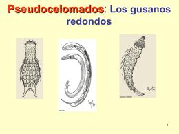 Pseudocelomados: Los gusanos redondos