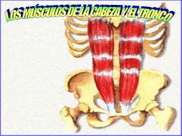 Tipos de músculos Los musculos estriados o rojos, cuya contracción