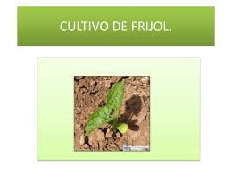CULTIVO DE FRIJOL. - Transmiel de Costa Rica