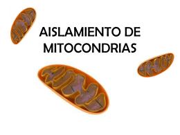 AISLAMIENTO DE MITOCONDRIAS