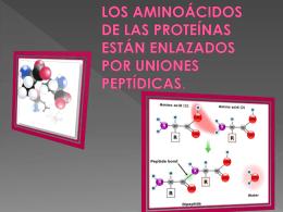 Los aminoácidos de las proteínas están enlazados por