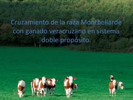Cruzamiento de la raza Montbeliarde con ganado
