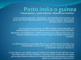 Pasto india o guinea - Pastos