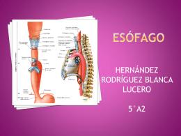 ESOFAGO - Anatomía y Fisiología Humana