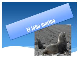 El lobo marino sudamericano