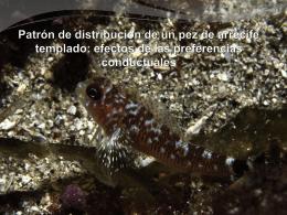 Patrón de distribución de un pez de arrecife templado