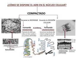 ¿CÓMO SE DISPONE EL ADN EN EL NÚCLEO CELULAR?