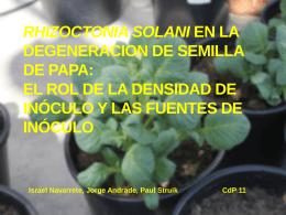 Rhizoctonia solani en la degeneracion de semilla de papaEl rol de