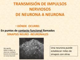 TRANSMISIÓN DE IMPULSOS NERVIOSOS DE NEURONA A