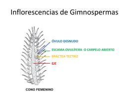 Inflorescencias de Gimnospermas