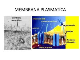 MEMBRANA PLASMATICA - arlenerodriguezunah
