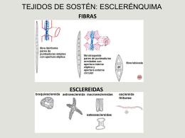 TEJIDOS DE SOSTÉN: ESCLERÉNQUIMA