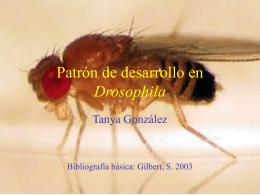 Genes del Desarrollo en Drosophila