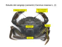 Disección del cangrejo (camarón) Carcinus maenas