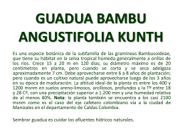GUADUA BAMBU ANGUSTIFOLIA KUNTH