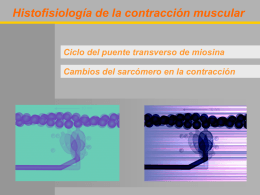 Ciclo del puente transverso de la miosina