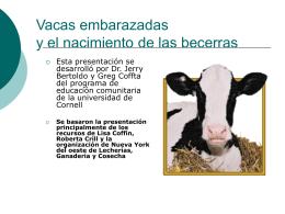 Vacas embarazadas, nacimiento de las becerras y el cuidar