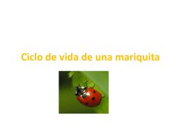Ciclo de vida de una mariquita - SpanishImmersion
