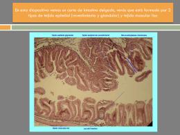 Corte de intestino delgado