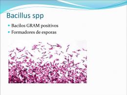 Bacillus spp