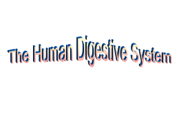 PowerPoint Presentation - The Human Digestive System