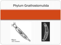 Phylum Gnathostomulida
