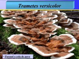 Trametes versicolor