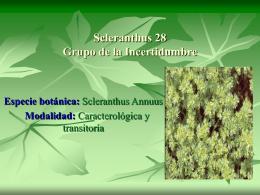 Scleranthus 28