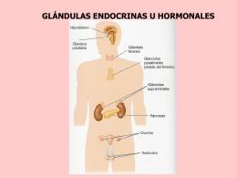 glándulas endocrinas u hormonales las hormonas - E