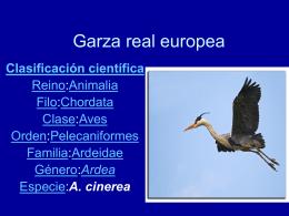 Garza real europea