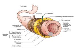 Sistema Digestivo. Conducto Alimentario