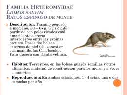 Familia Heteromyidae Liomys salvini Ratón espinoso de monte