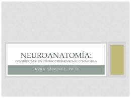 Neuroanatomía: Construyendo un cerebro tridimensional con masilla
