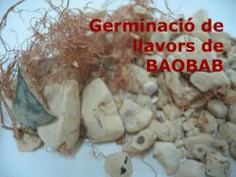 Pràctica Germinació de llavors Baobab