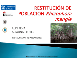 Reforzamiento poblacion_ Rizophora mangle
