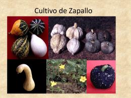 07 CULTIVO DE ZAPALLO