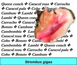 Queen conch Caracol rosa Carrucho Caracol pala Cobo Botuto