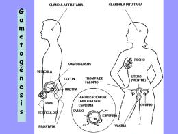 Gametogénesis - biologiamedia