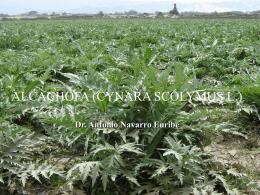 01 CULTIVO DE LA ALCACHOFA (CYNARA SCOLIMUS L.)