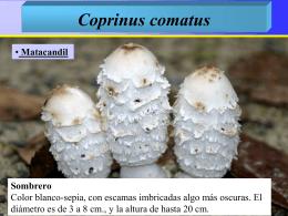 Coprinus comatus