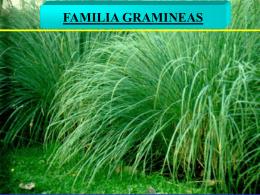 Familia Gramíneas