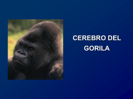 Presentación cerebro del gorila