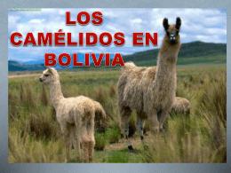 LOS CAMÉLIDOS EN BOLIVIA